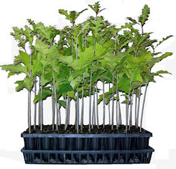Container Grown Trees for sale - Wholesale and retail.
